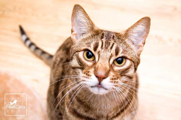 ocicat-gato-salvaje