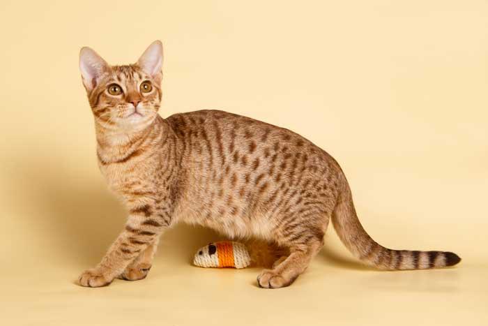 Ocicat-gato