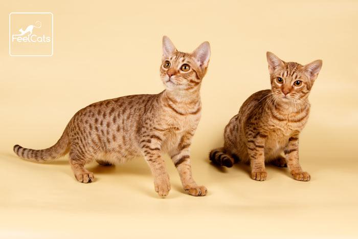 gatos-ocicat