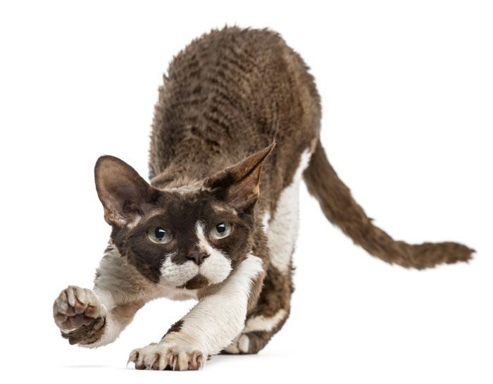 cornish-rex-gatos-raza