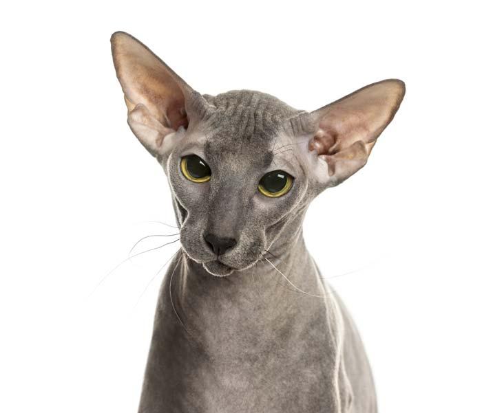 peterbald-gato