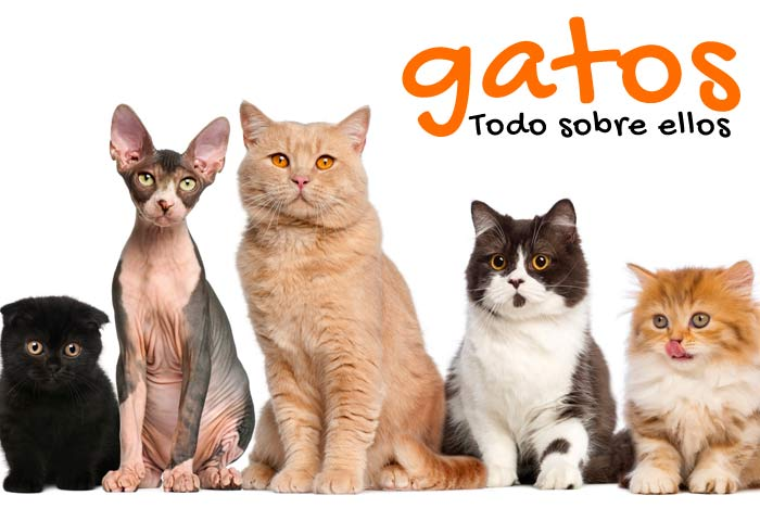 e43984aaa08 Gatos ▷ Toda la información sobre el mundo de gato   FeelCats