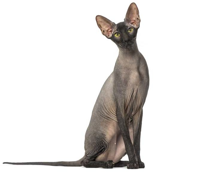 raza-peterbald-gato