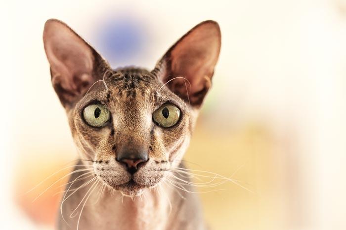 peterbald-cat