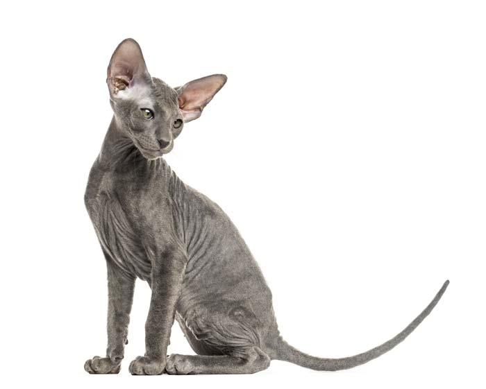 peterbald-gato-raza