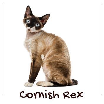raza-gatos-cornish-rex