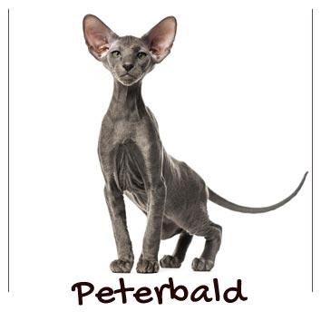raza-gatos-peterbald