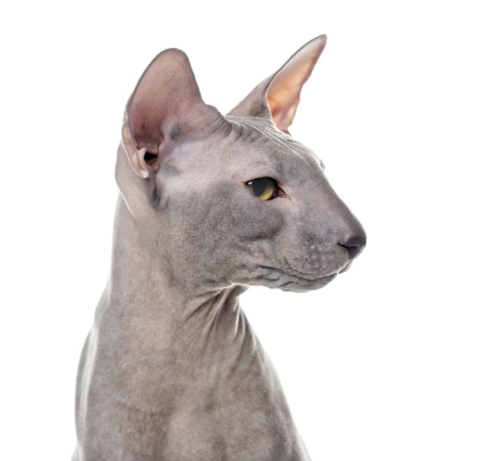 peterbald-gatos