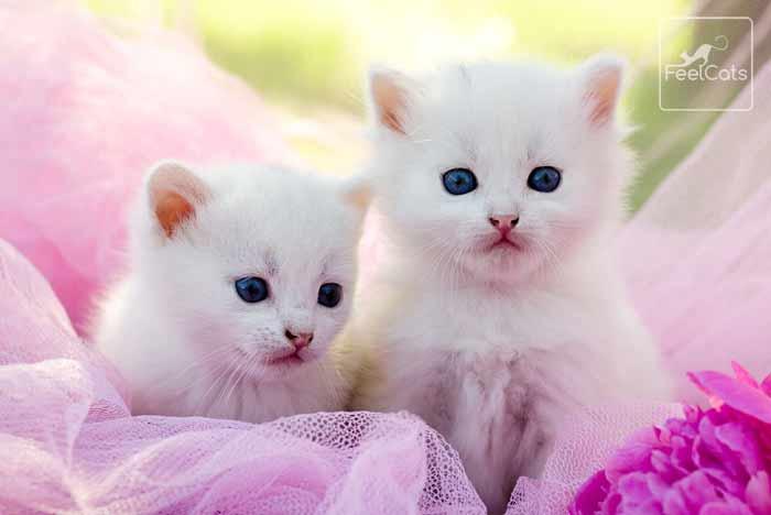 gatitos-blancos