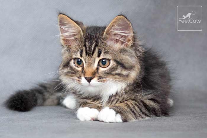 gatitos-mainecoon