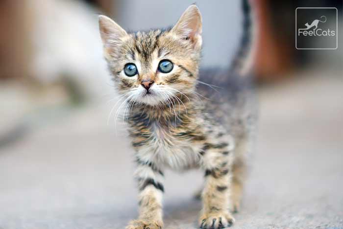 adoptar-gatitos