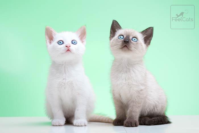 gatitos-siameses