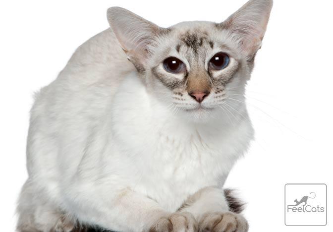 gato-raza-balines