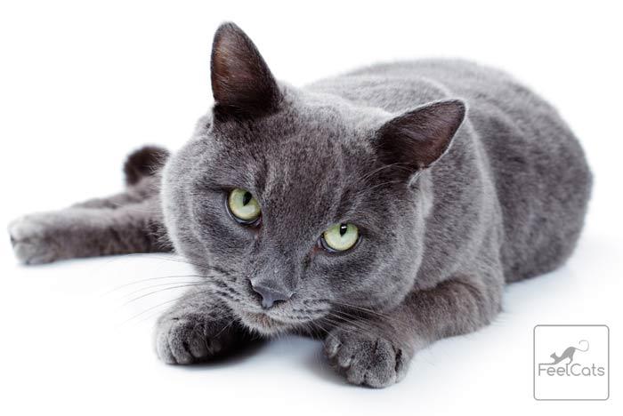 korat-gato