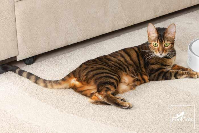gato-tigre-atigrado