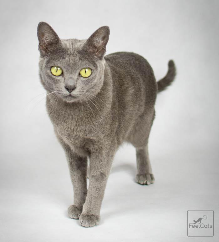 korat-gato-raza