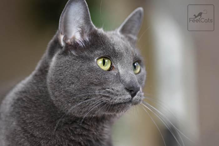 gato-korat