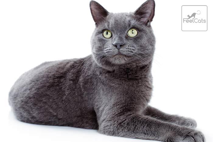 gato-korat-caracter