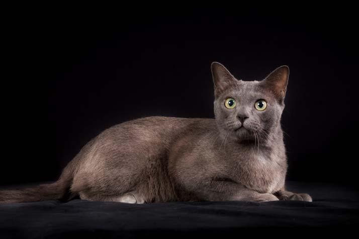 korat-raza-gatos