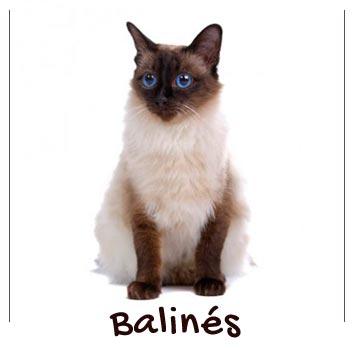 raza-gatos-balines