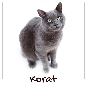 raza-gatos-korat