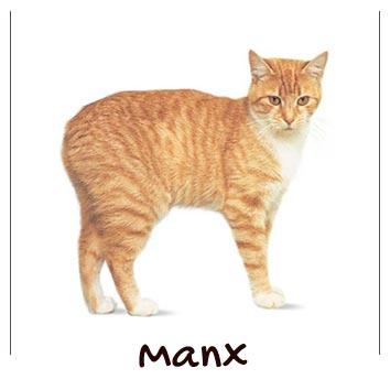 raza-gatos-manx