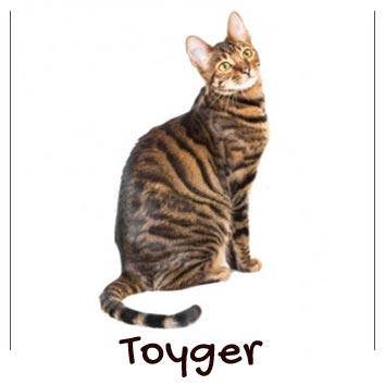 raza-gatos-toyger