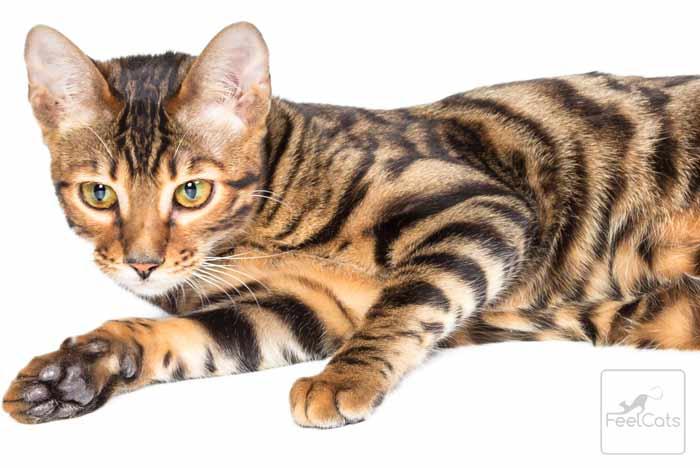 gato-tigre-toyger