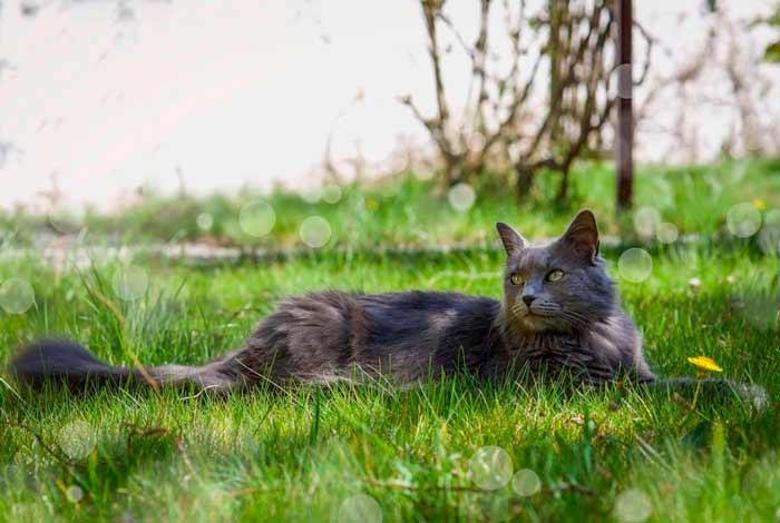 gato-nebelung-cat
