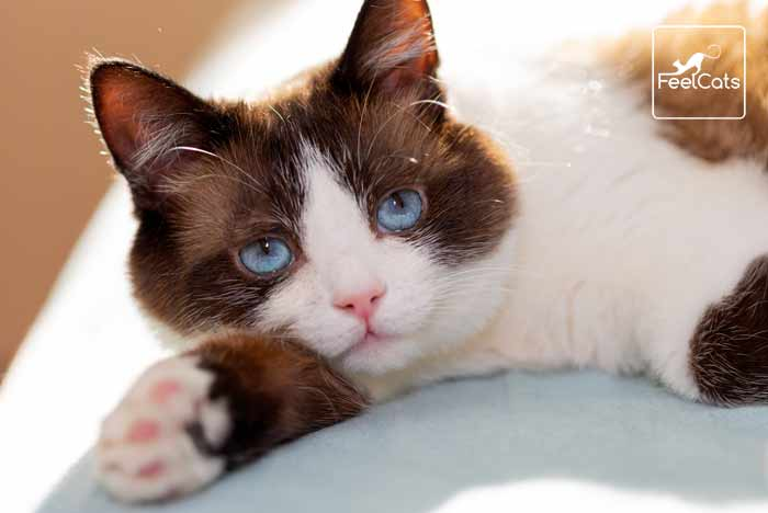 snowshoe-gato