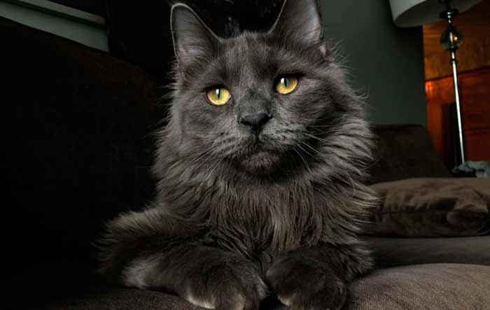 nebelung-gato