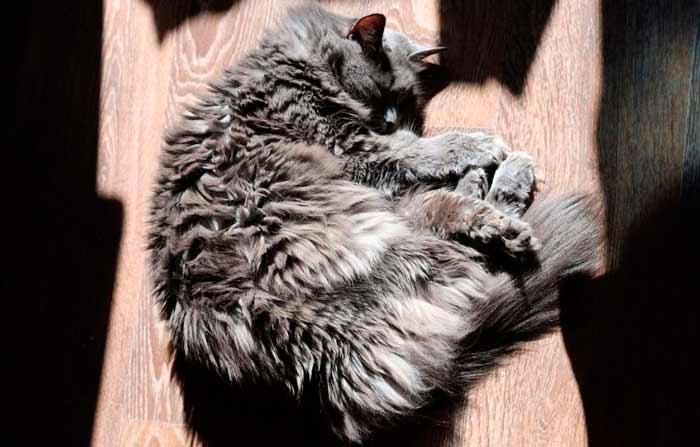 gato-nibelungo-nebelung