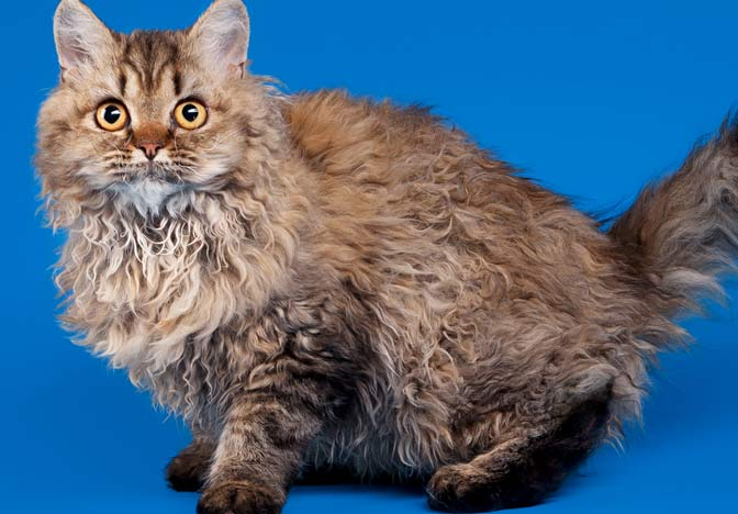 Resultado de imagen de gatos pelo rizado