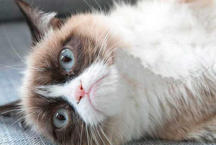 grumpy-cat-snowshoe