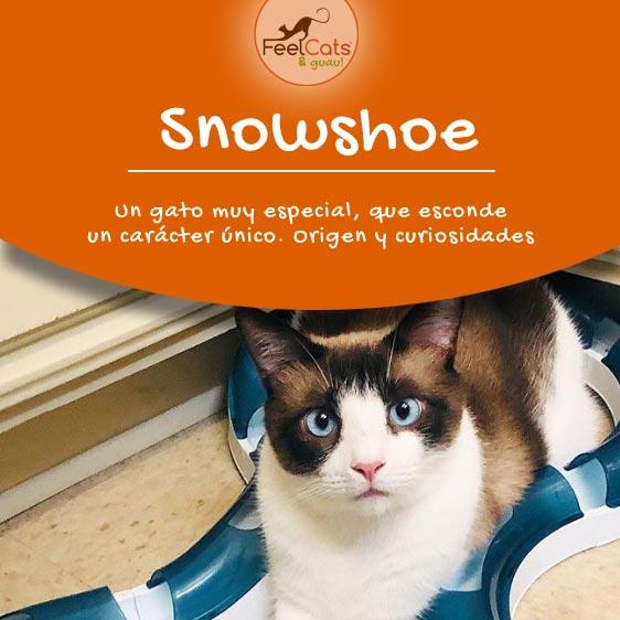 gato-snowshoe-raza