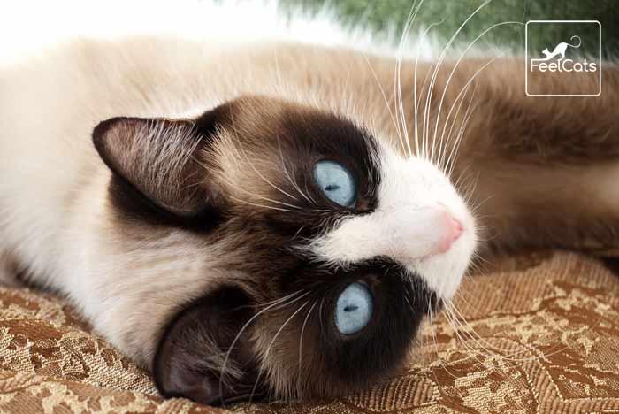 gato-siames-snowshoe