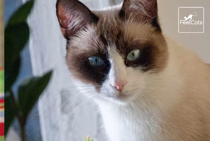 gato-raza-snowshoe