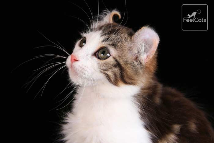 curl-gato-americano