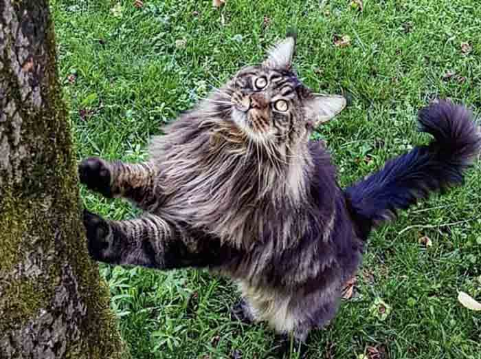 raza-gatos-mas-grande-mundo