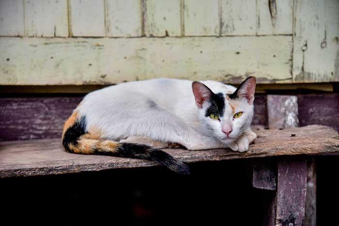 leyenda-gato-chino