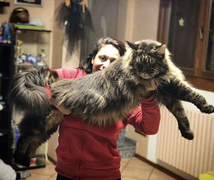 Barivel ¿es el gato más grande del mundo en 2020? l   FeelCats