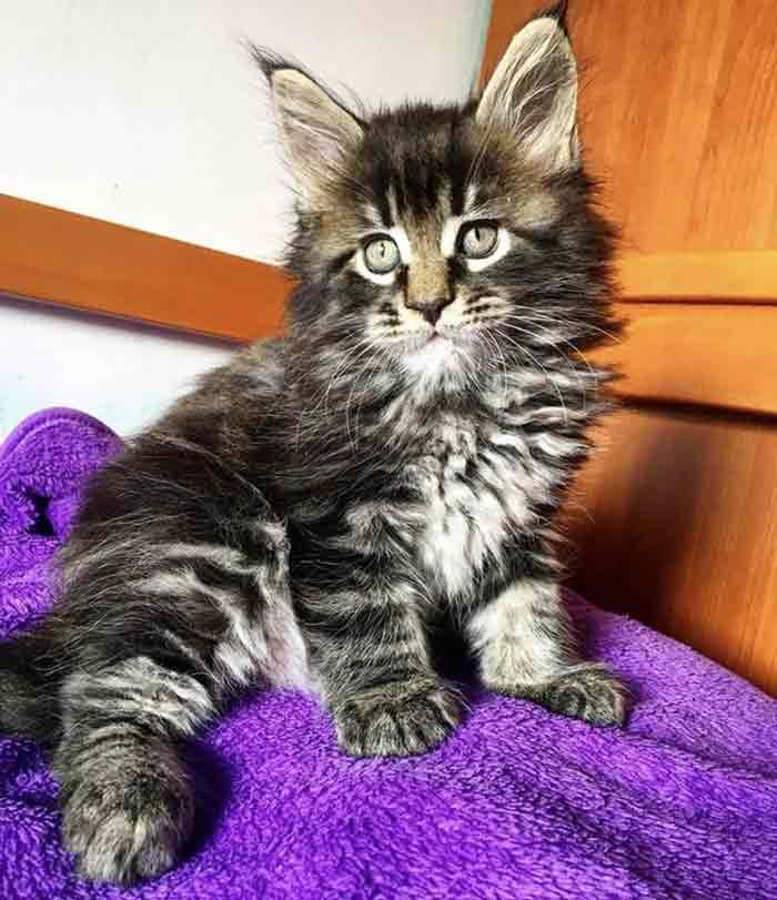 gato-mas-grande-del-mundo