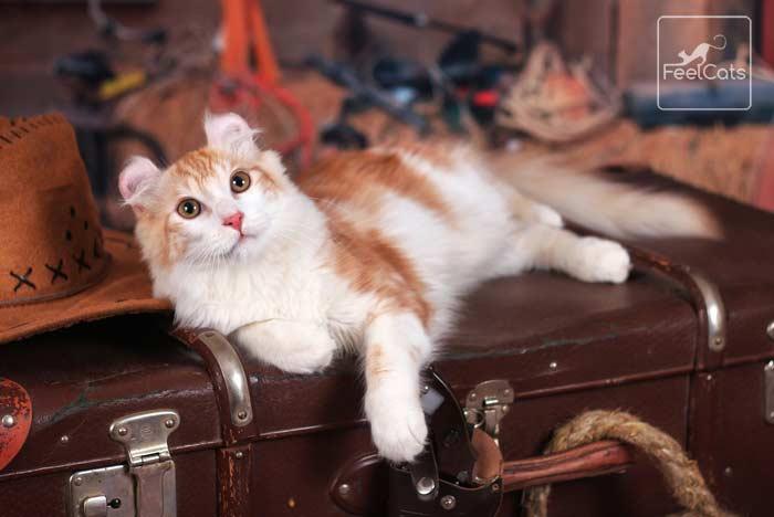 gato-raza-curl-americano