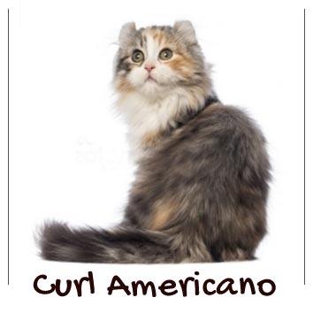 raza-gato-curl-americano