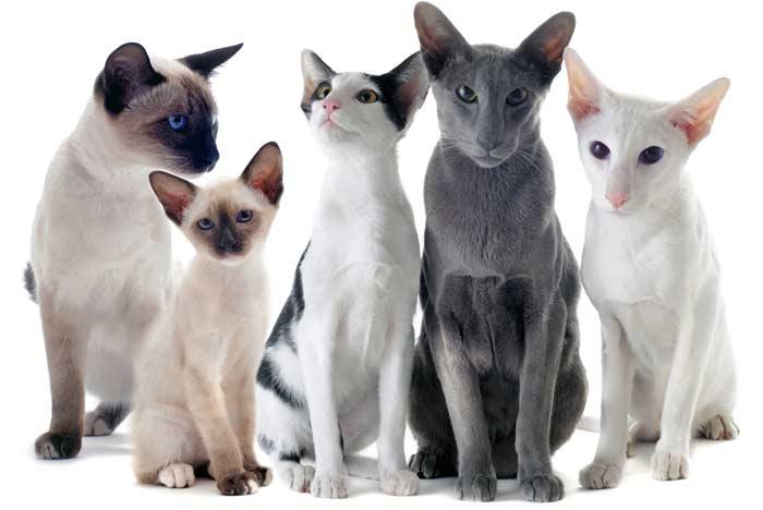 razas-orientales-gatos