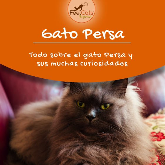 gatos-persa
