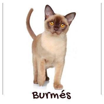raza-gatos-burmes