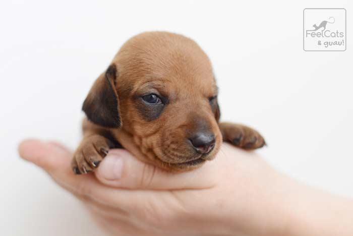 bebe de perro teckel o salchicha, con pocas semanas de edad