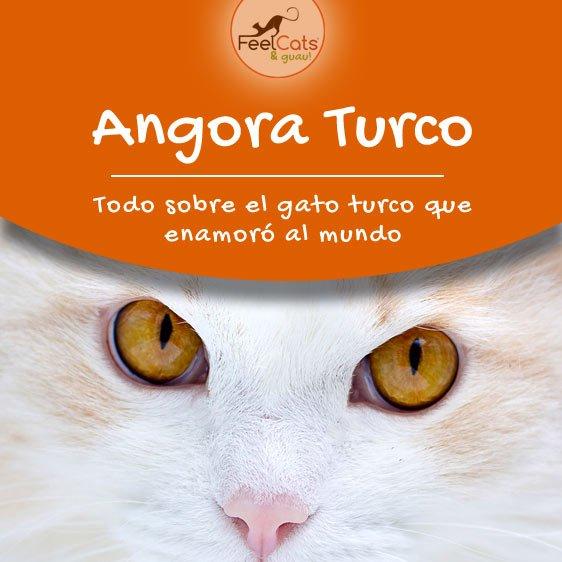 angora turco gato