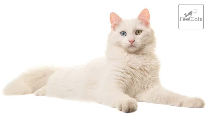 gato Angora turco sordo